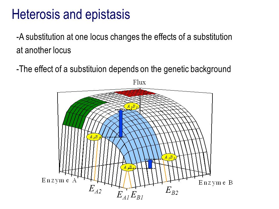 Heterosis and epistasis -A substitution at one locus changes the effects of a substitution at another locus -The effect of a substituion depends on th