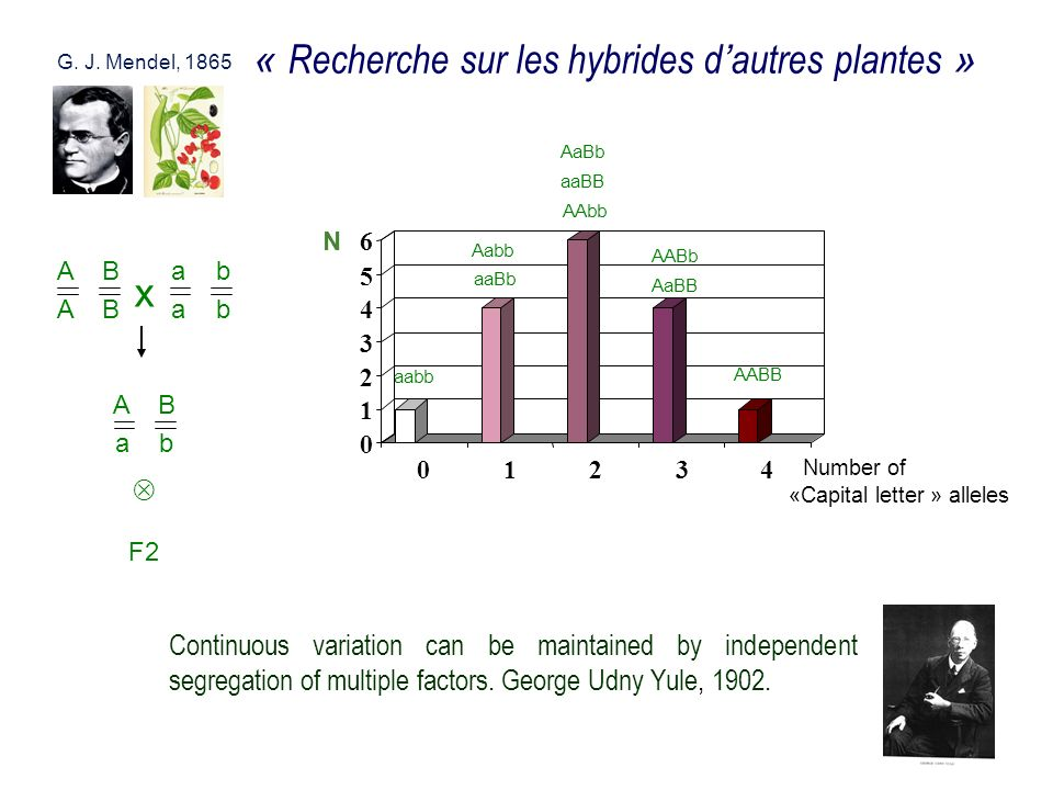Continuous variation can be maintained by independent segregation of multiple factors. George Udny Yule, 1902. G. J. Mendel, 1865 « Recherche sur les