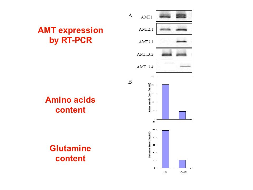 AMT expression by RT-PCR Amino acids content Glutamine content AMT3.1 AMT1 AMT2.1 AMT13.2 AMT13.4 T0 -N48 +N24 Carpo A B