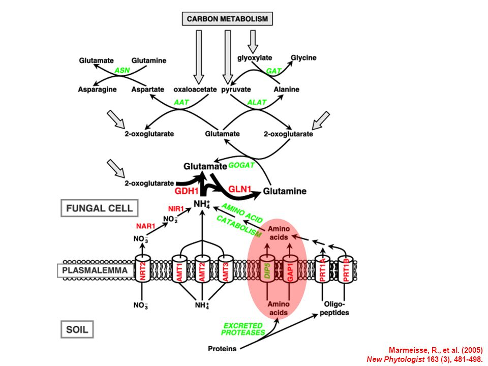 Marmeisse, R., et al. (2005) New Phytologist 163 (3), 481-498.