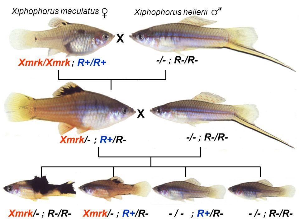 X X Xiphophorus maculatus Xiphophorus hellerii Xmrk/Xmrk ; R+/R+ Xmrk/- ; R+/R- -/- ; R-/R- Xmrk/- ; R+/R-Xmrk/- ; R-/R-- / - ; R+/R-- /- ; R-/R-