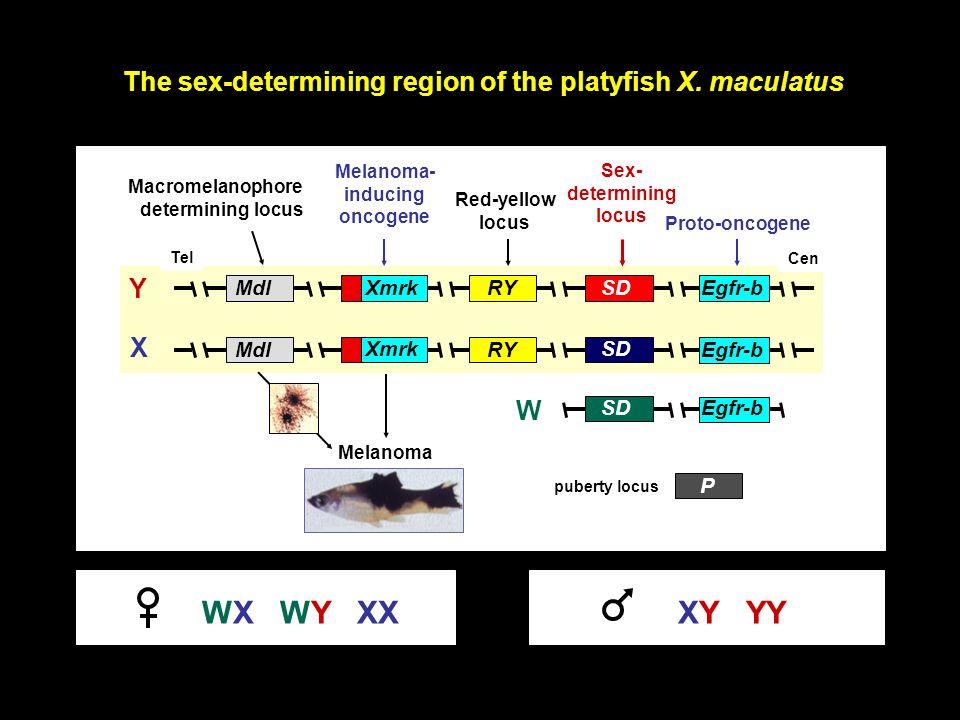 The sex-determining region of the platyfish X. maculatus Tel XmrkMdlRY Cen Egfr-bSD Xmrk MdlRY SD P Egfr-b Melanoma- inducing oncogene Proto-oncogene
