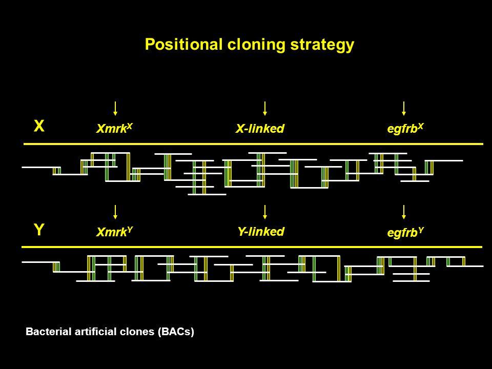 Positional cloning strategy egfrb Y Xmrk Y Y egfrb X Xmrk X X X-linked Y-linked Bacterial artificial clones (BACs)
