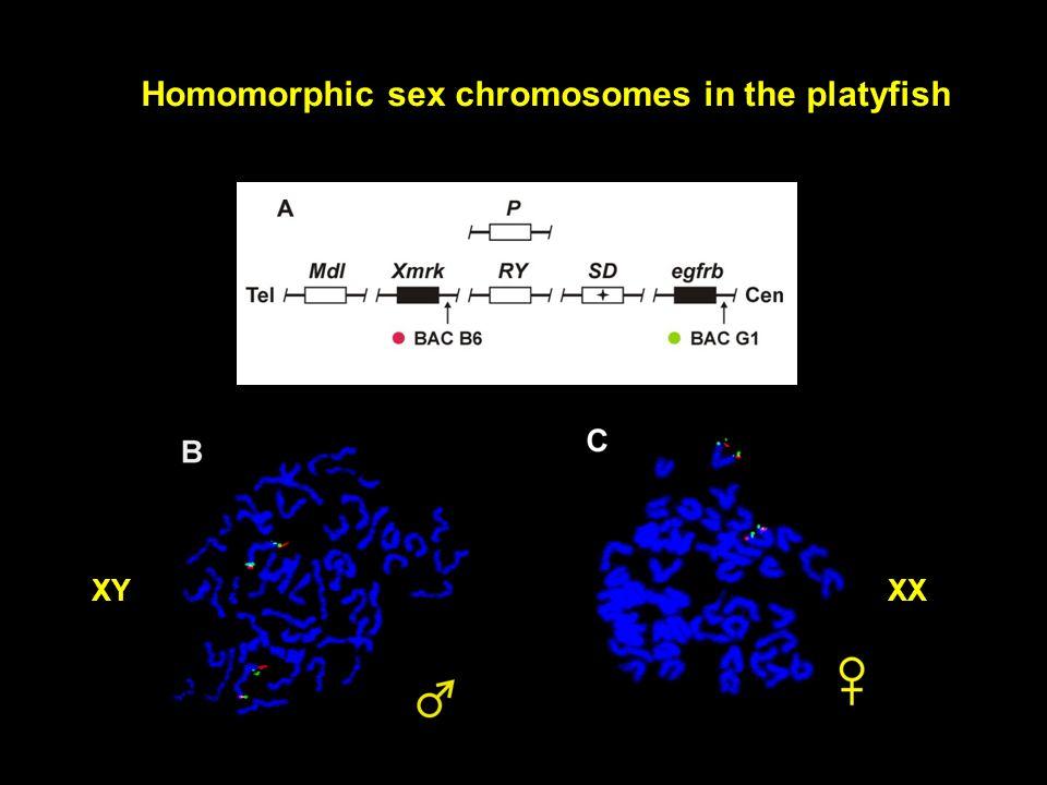 Homomorphic sex chromosomes in the platyfish XYXX