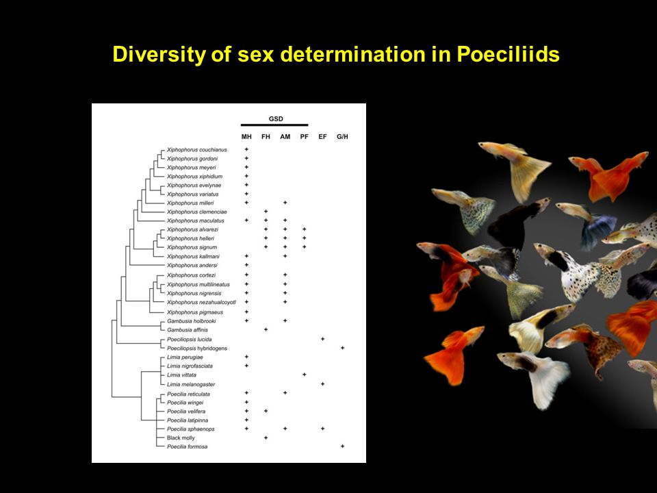 Diversity of sex determination in Poeciliids