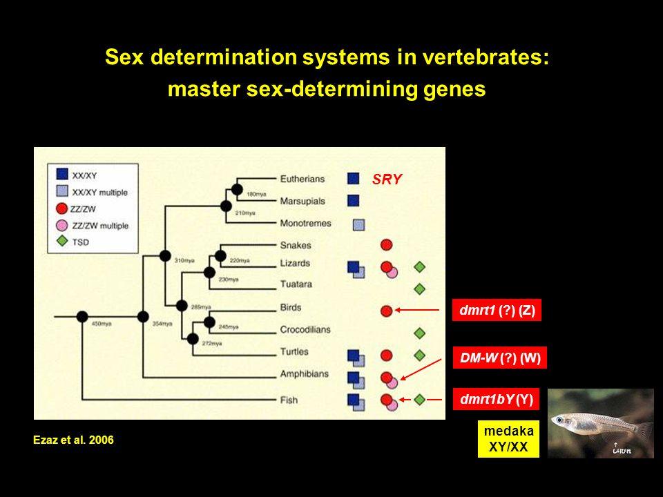 Sex determination systems in vertebrates: master sex-determining genes Ezaz et al. 2006 medaka XY/XX dmrt1bY (Y) dmrt1 (?) (Z) DM-W (?) (W) SRY