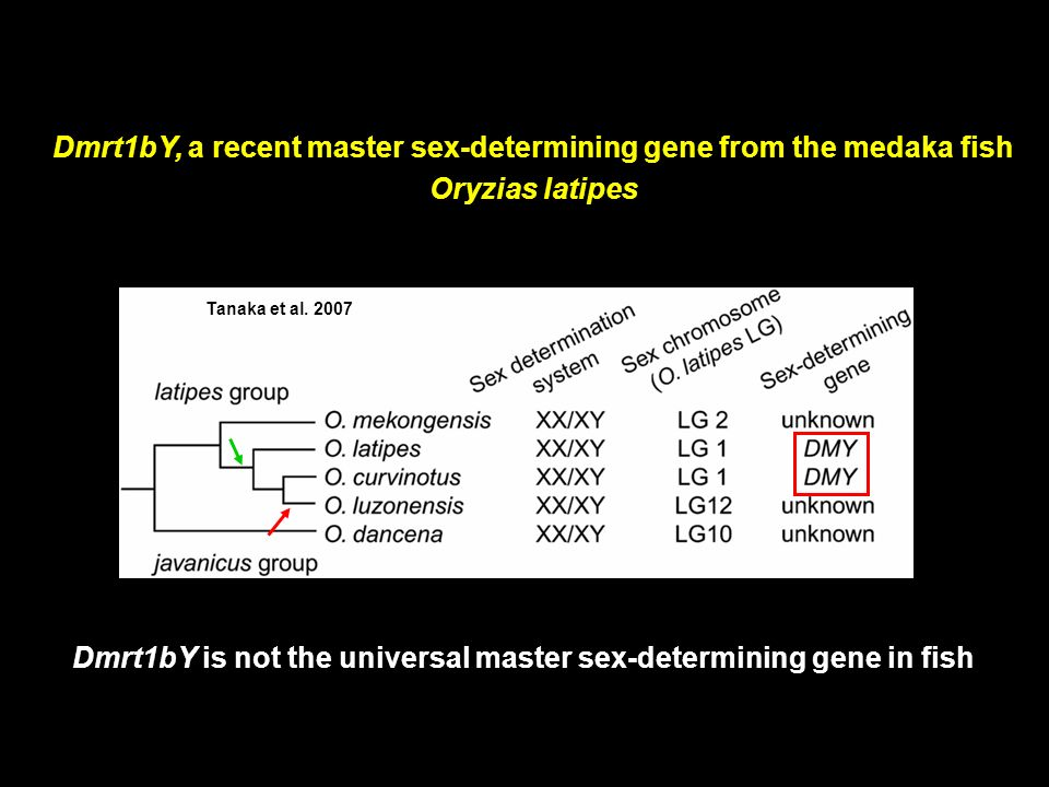 Dmrt1bY, a recent master sex-determining gene from the medaka fish Oryzias latipes Dmrt1bY is not the universal master sex-determining gene in fish Ta