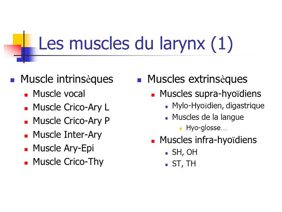 Les muscles du larynx (1) Muscle intrins è ques Muscle vocal Muscle Crico-Ary L Muscle Crico-Ary P Muscle Inter-Ary Muscle Ary-Epi Muscle Crico-Thy Mu