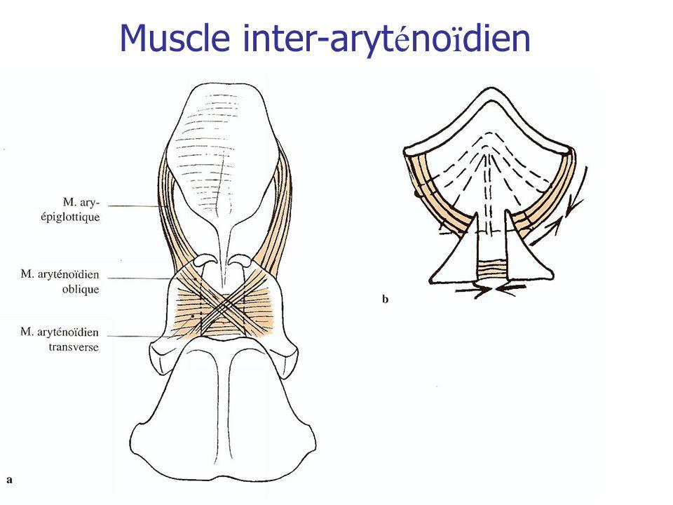 Muscle inter-aryt é no ï dien