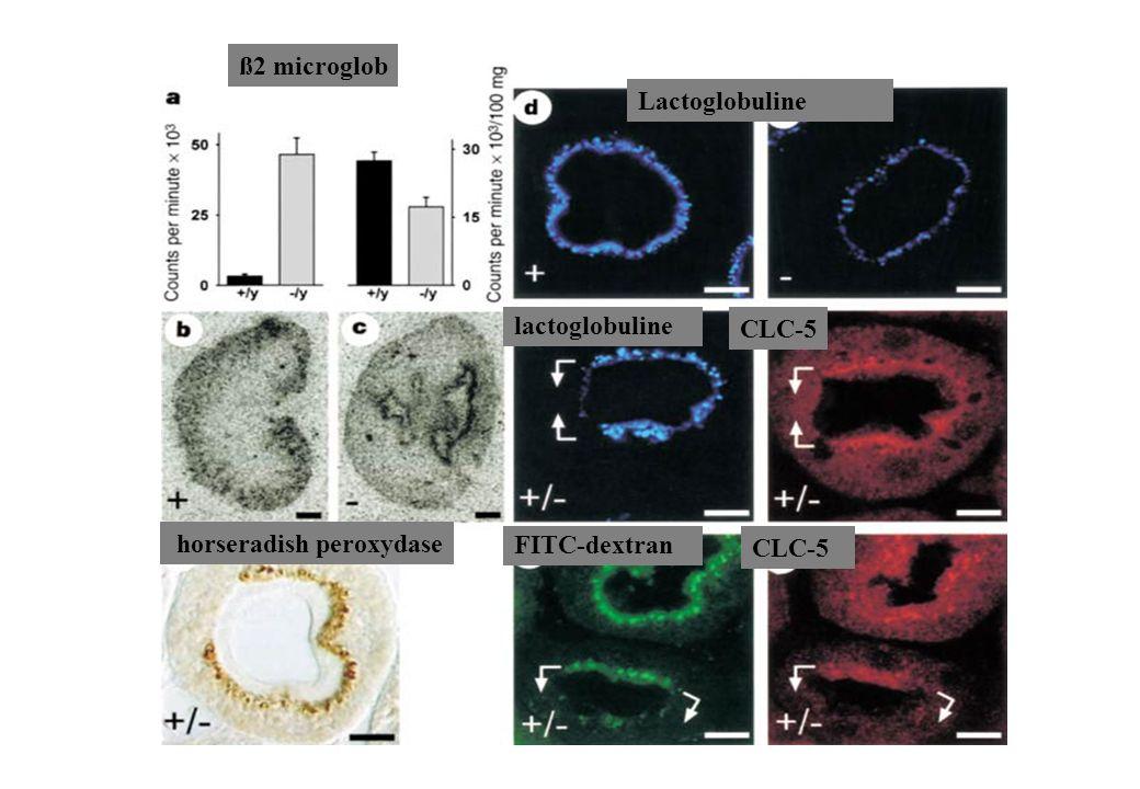 ß2 microglob Lactoglobuline lactoglobuline FITC-dextran CLC-5 horseradish peroxydase CLC-5