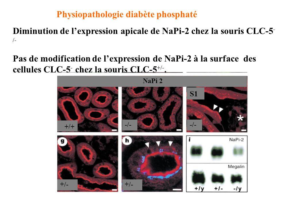 mégalinemégaline + CLC-5ClC-5 NaPi 2 +/+ -/- +/- Physiopathologie diabète phosphaté Diminution de lexpression apicale de NaPi-2 chez la souris CLC-5 -