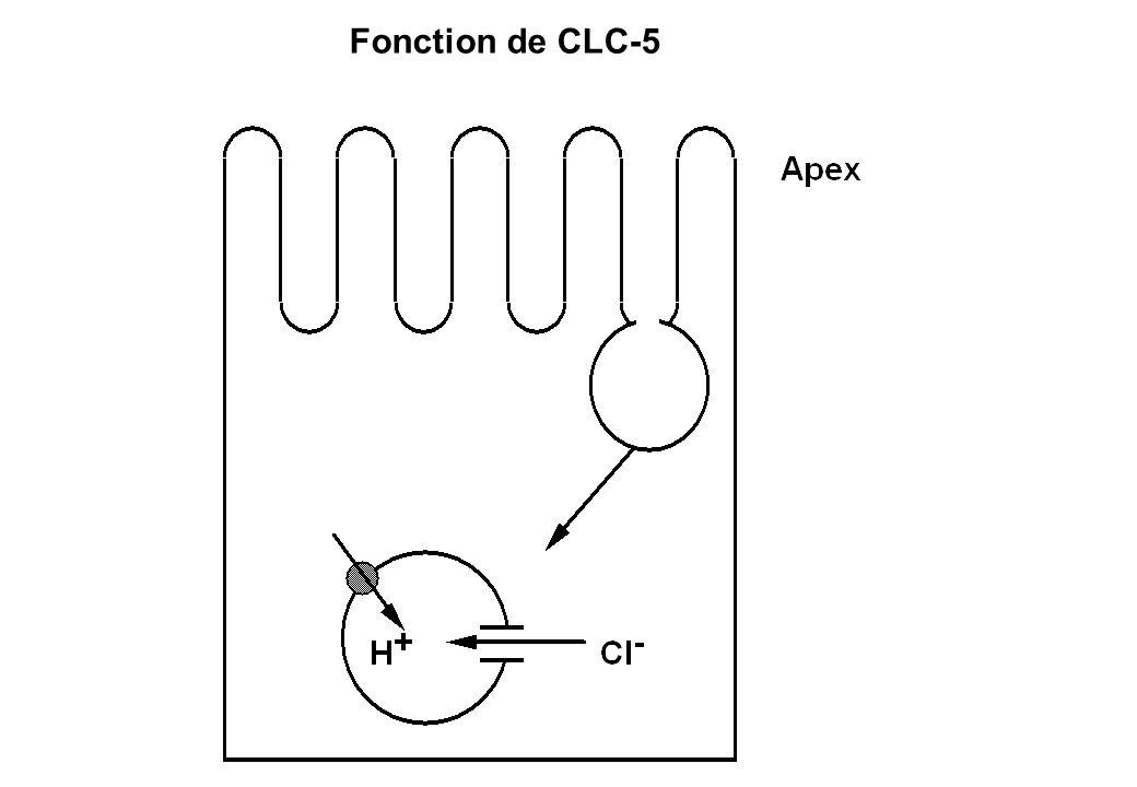 Fonction de CLC-5