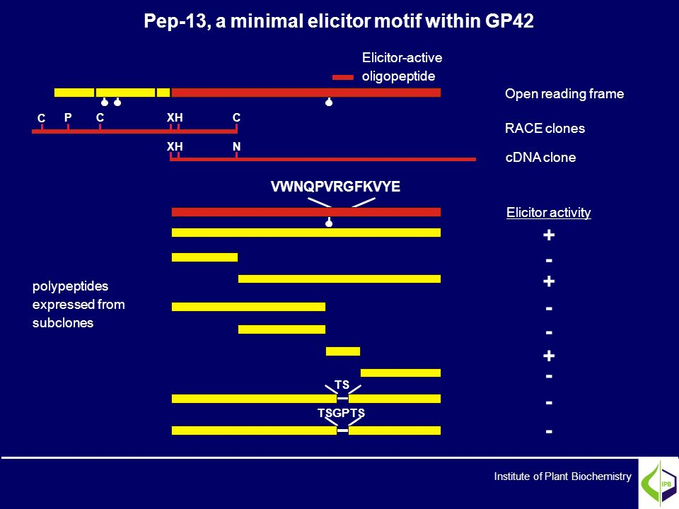 TSGPTS Open reading frame RACE clones cDNA clone Elicitor activity + - + - - + - - - polypeptides expressed from subclones Elicitor-active oligopeptid