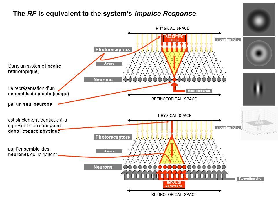Incoming light Photoreceptors Neurons Axons RECEPTIVE FIELD PHYSICAL SPACE Recording site RETINOTOPICAL SPACE Recording site Photoreceptors Neurons Axons PHYSICAL SPACE IMPULSE RESPONSE RETINOTOPICAL SPACE Incoming light The RF is equivalent to the systems Impulse Response Dans un système linéaire rétinotopique, La représentation dun ensemble de points (image) par un seul neurone est strictement identique à la représentation dun point dans lespace physique par lensemble des neurones qui le traitent.