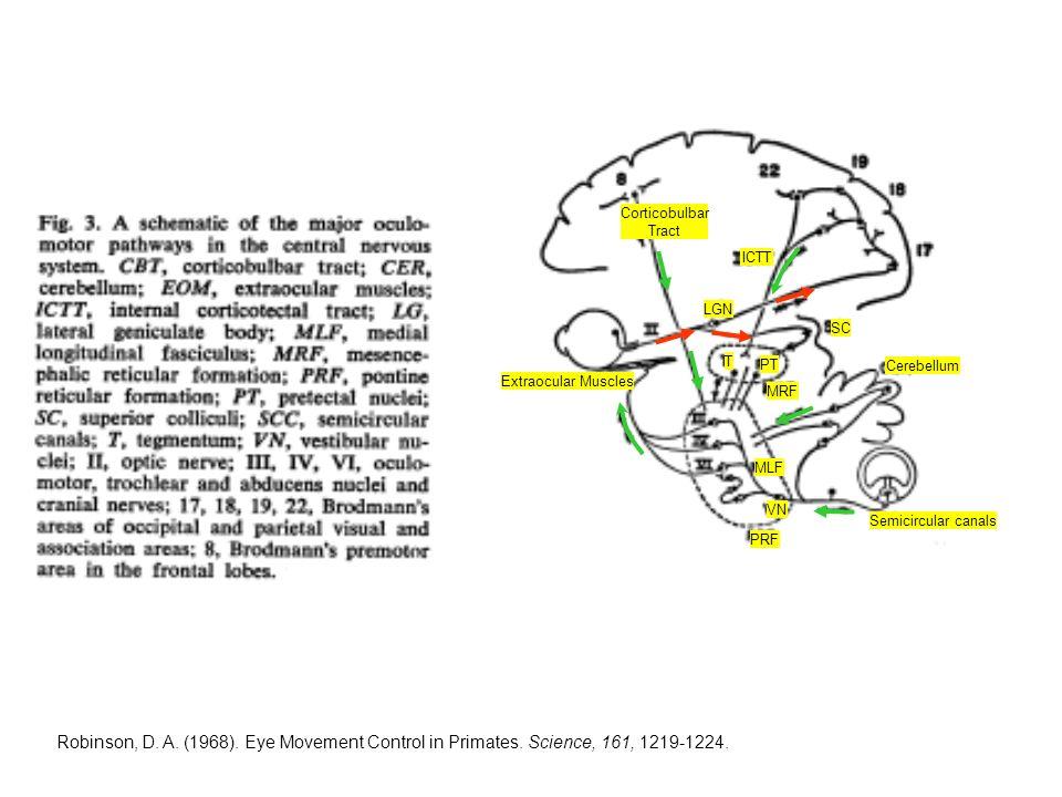 Corticobulbar Tract ICTT LGN MLF MRF PRF PT Semicircular canals T VN Extraocular Muscles Cerebellum SC Robinson, D.