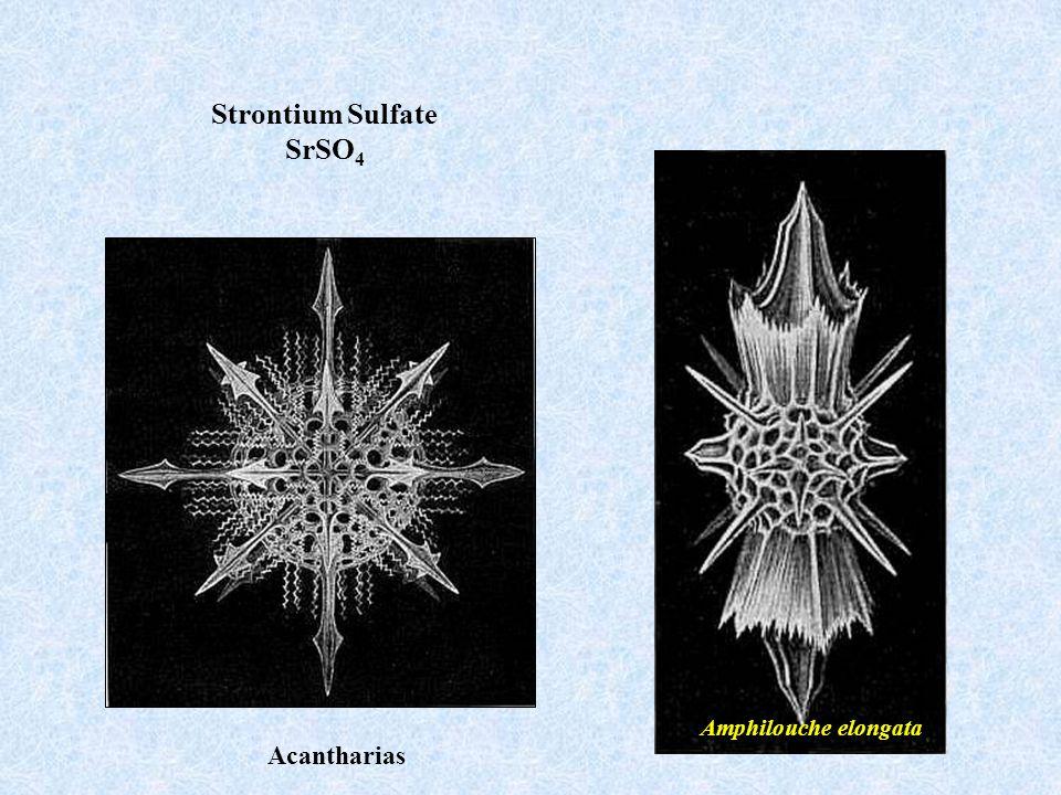 Amphilouche elongata Strontium Sulfate SrSO 4 Acantharias