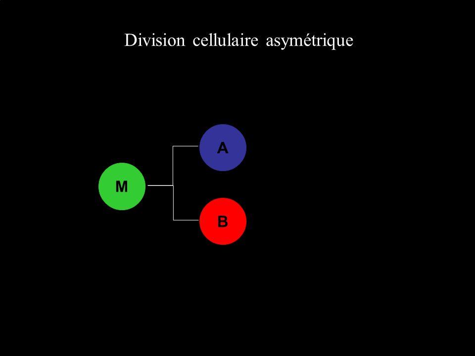 Division cellulaire asymétrique A B M