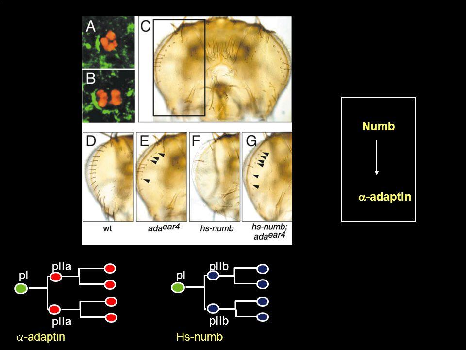 Numb -adaptin pI pIIa pI pIIb -adaptin Hs-numb