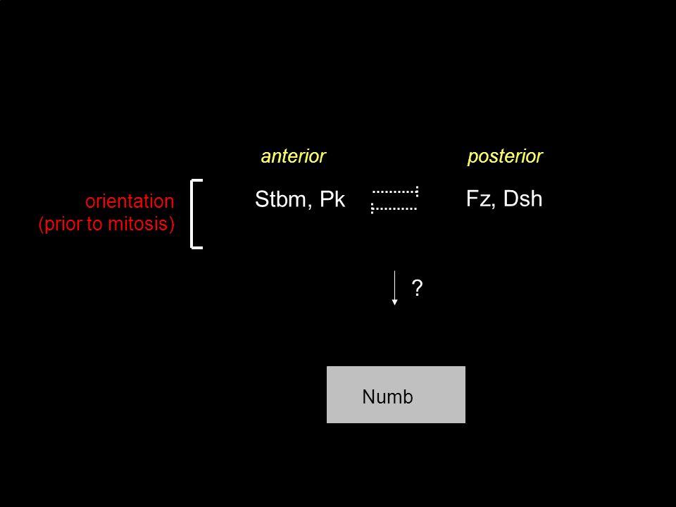posterioranterior Fz, Dsh orientation (prior to mitosis) Stbm, Pk Numb ?