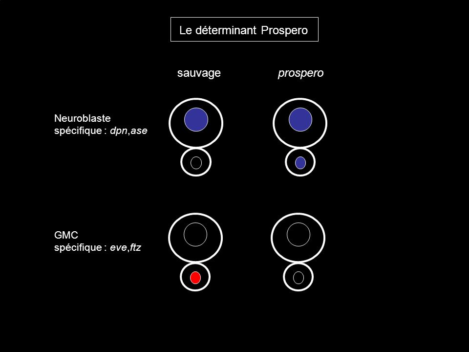 Le déterminant Prospero Neuroblaste spécifique : dpn,ase GMC spécifique : eve,ftz sauvageprospero