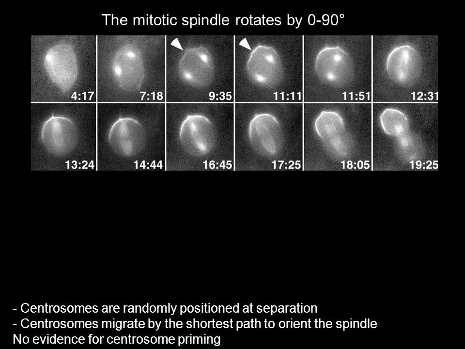 The mitotic spindle rotates by 0-90° - Centrosomes are randomly positioned at separation - Centrosomes migrate by the shortest path to orient the spin