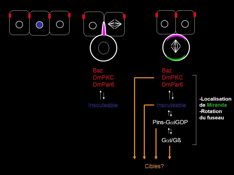 Baz DmPKC DmPar6 Inscuteable -Localisation de Miranda -Rotation du fuseau G i/Gß Baz DmPKC DmPar6 Inscuteable Pins-G iGDP Cibles?