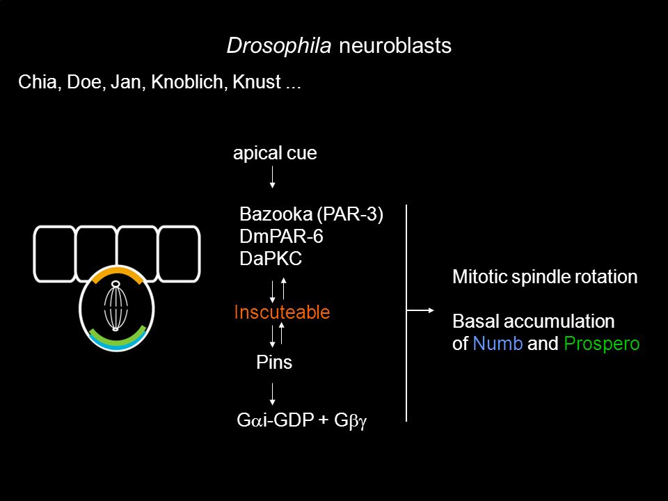 apical cue Bazooka (PAR-3) DmPAR-6 DaPKC Inscuteable Pins Mitotic spindle rotation Basal accumulation of Numb and Prospero Drosophila neuroblasts G i-