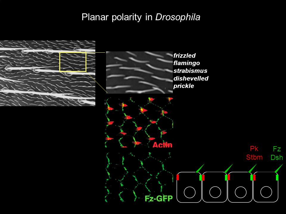 Fz Dsh Pk Stbm Planar polarity in Drosophila frizzled flamingo strabismus dishevelled prickle