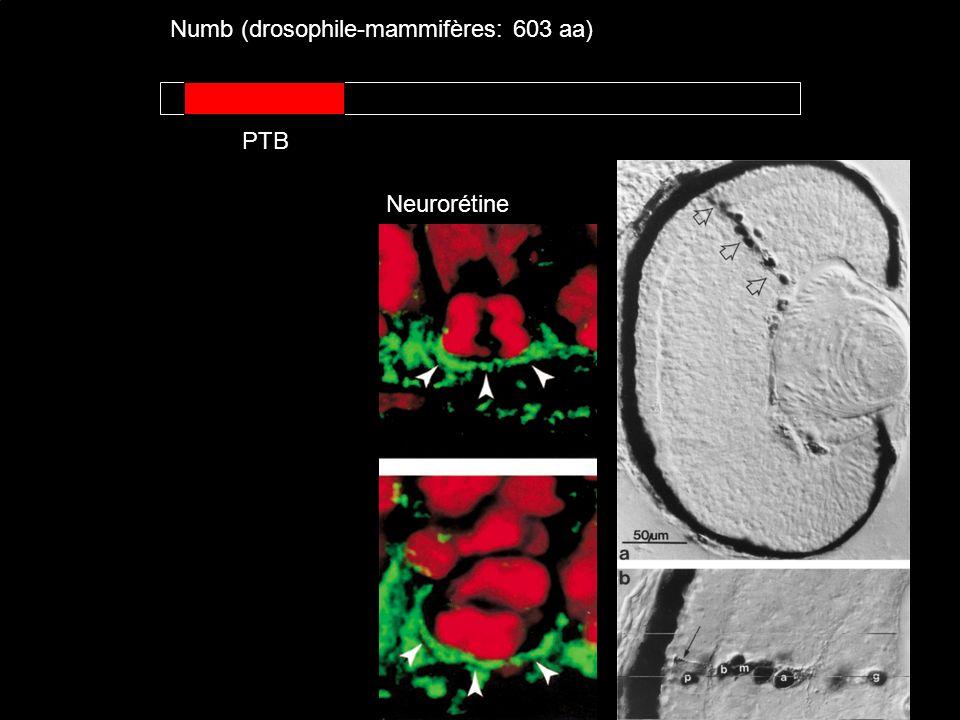 Numb (drosophile-mammifères: 603 aa) PTB Neurorétine