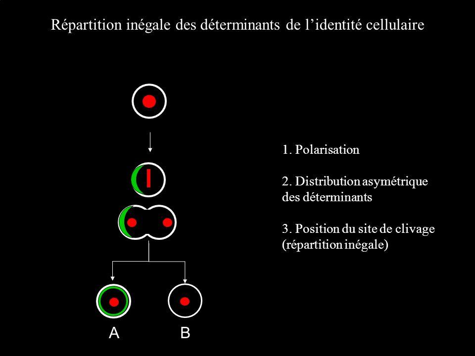 Répartition inégale des déterminants de lidentité cellulaire AB 1. Polarisation 2. Distribution asymétrique des déterminants 3. Position du site de cl
