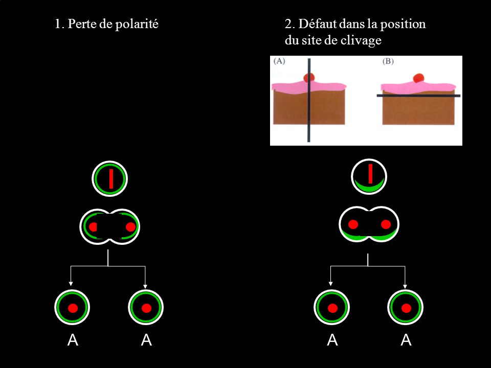 AA 1. Perte de polarité2. Défaut dans la position du site de clivage AA