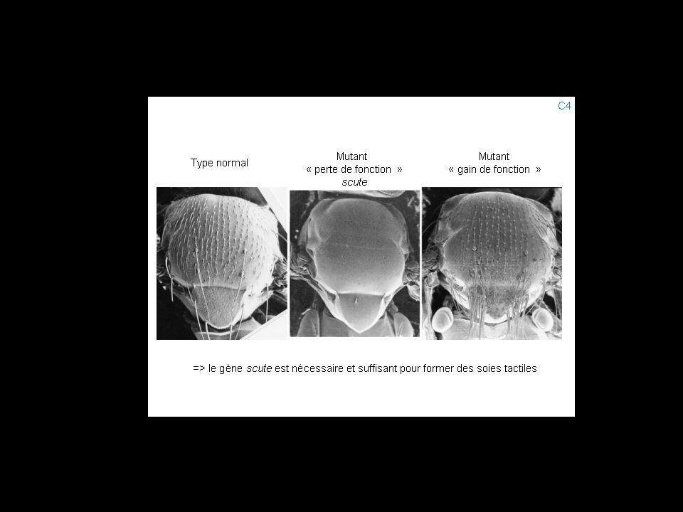 Génes de prepattern: iroquois etc...Gènes proneuraux: scute etc...