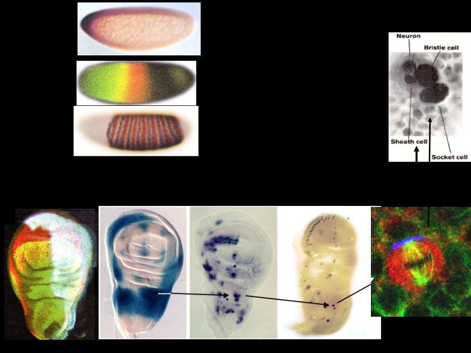 Prepattern genes: iroquois etc... Proneural genes: scute etc... Precursor genes: neu, poxn Lineage genes: numb etc... Compartment genes: en, dpp, ap…