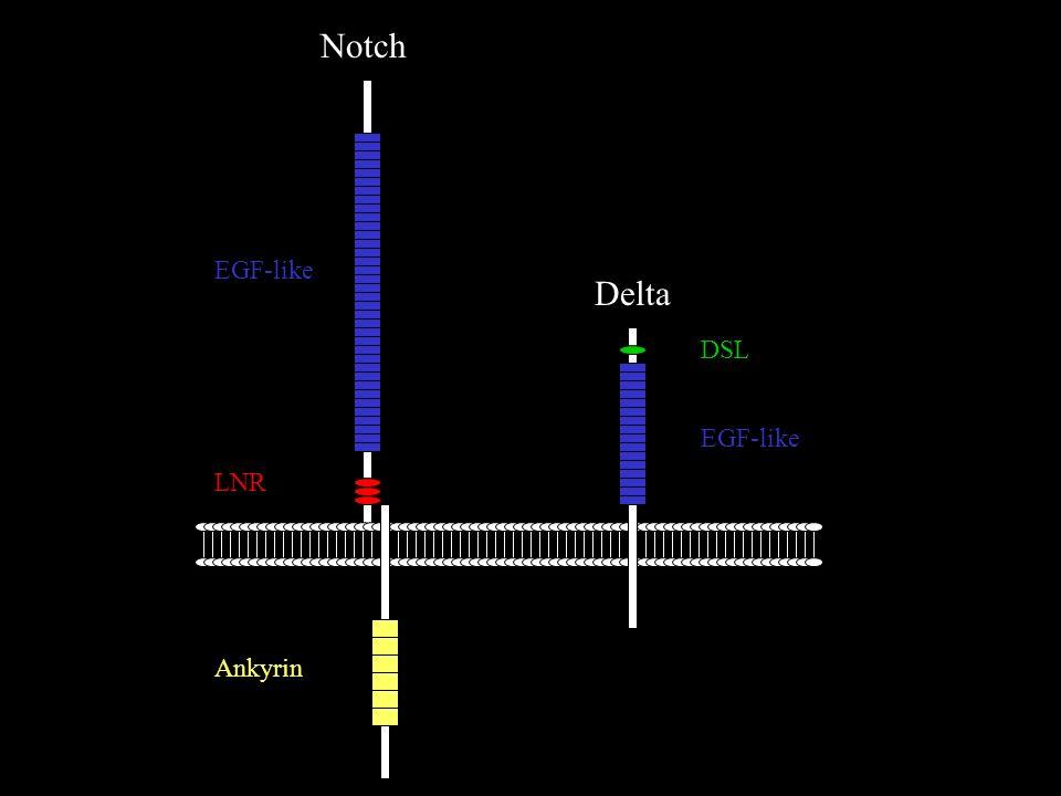 Delta Notch DSL EGF-like LNR Ankyrin