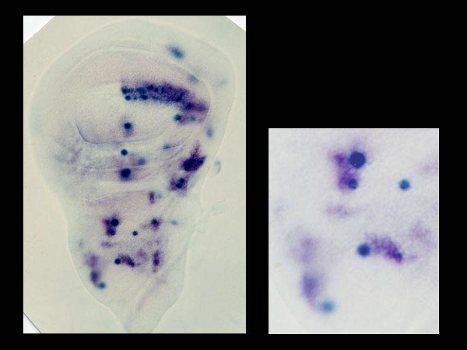 Prepattern genes: iroquois etc...Proneural genes: scute etc...