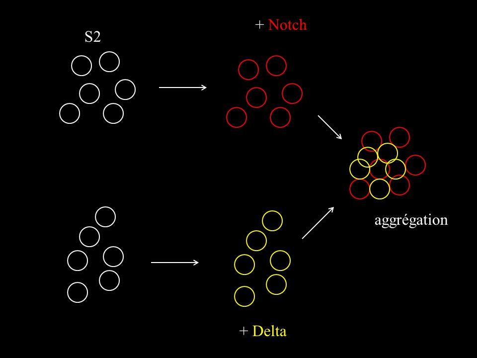 S2 + Notch + Delta aggrégation