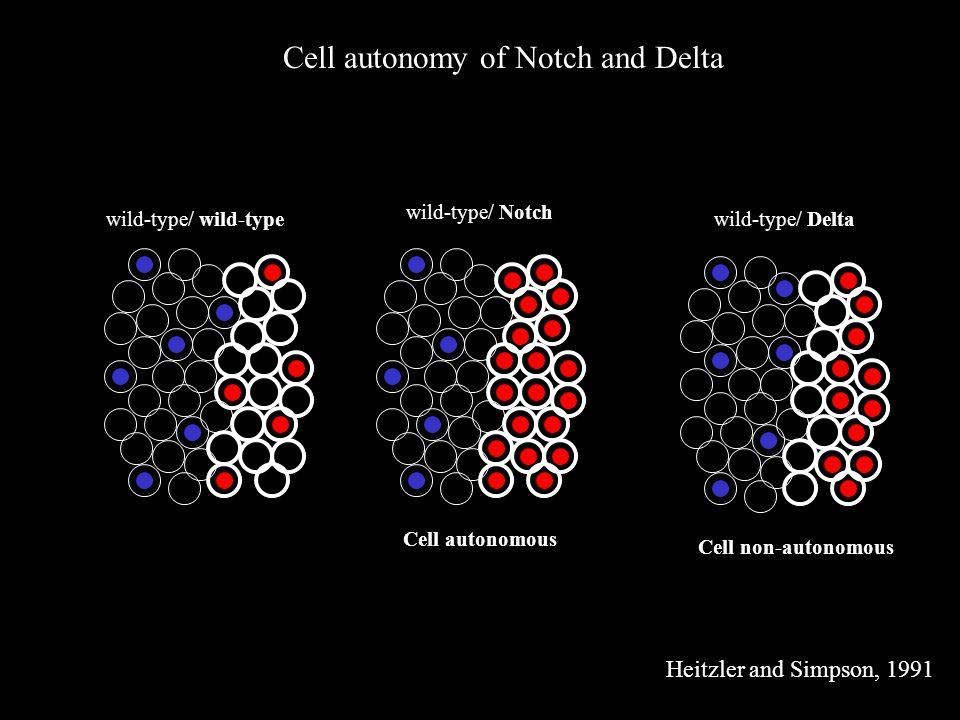 Cell autonomy of Notch and Delta wild-type/ wild-type wild-type/ Notch wild-type/ Delta Cell autonomous Cell non-autonomous Heitzler and Simpson, 1991