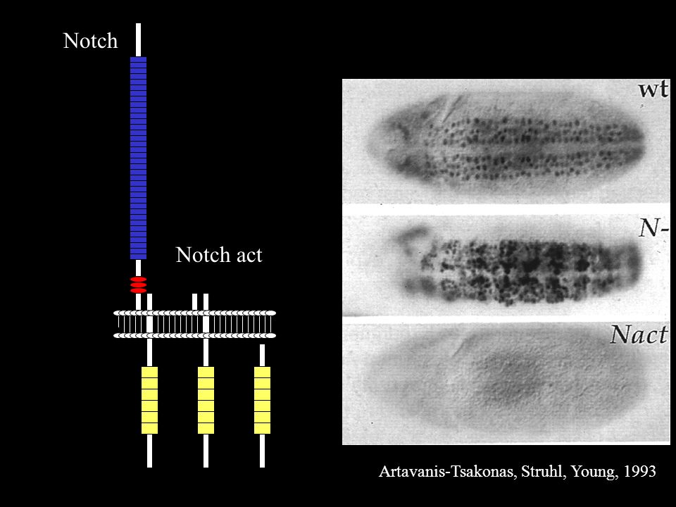 Notch Notch act Artavanis-Tsakonas, Struhl, Young, 1993