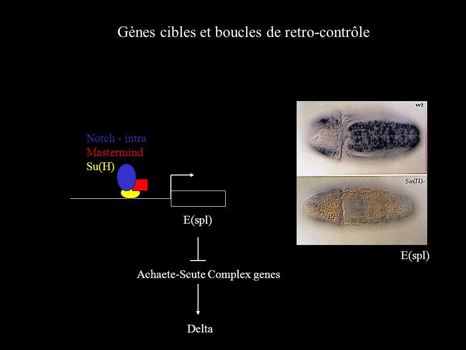 Gènes cibles et boucles de retro-contrôle E(spl) Notch - intra Mastermind Su(H) Achaete-Scute Complex genes Delta E(spl)