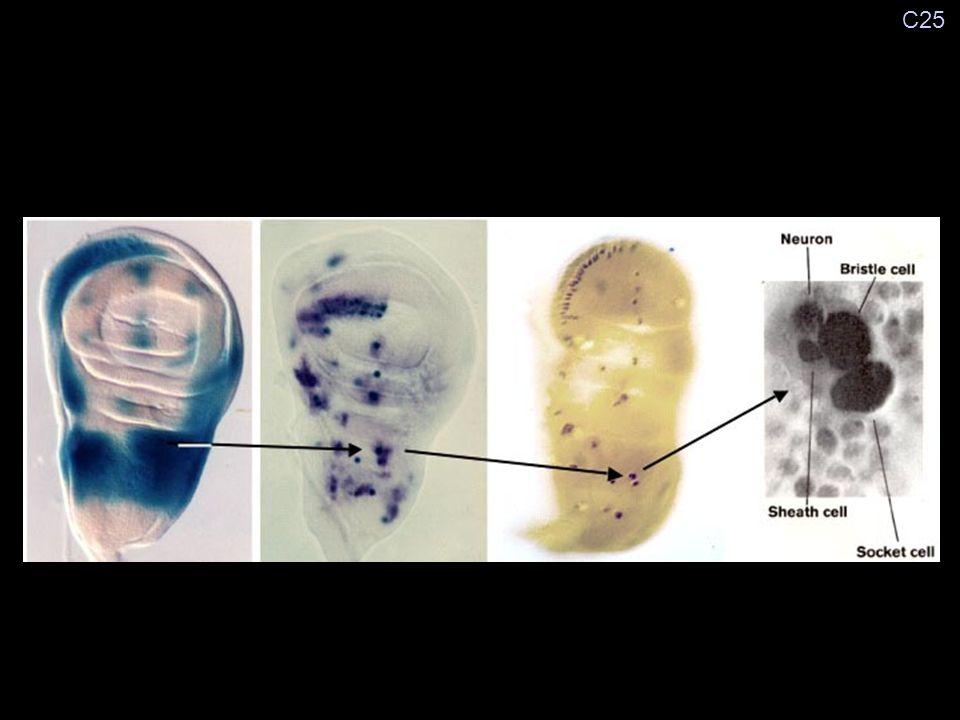 Génes de prepattern: iroquois etc... Gènes proneuraux: scute etc... Gènes des précurseurs: neu, poxn Gènes du lignage: numb etc... Génes cardinaux: en