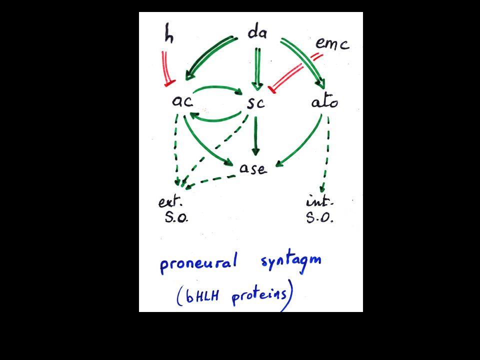 Receiving cell Notch CSL HES nucleus Su(H) E(spl) nucleus 4.