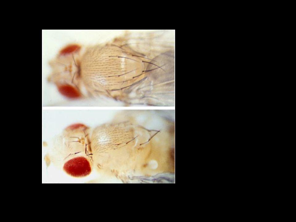 NotchDelta AS-C Neuroblaste (100%) Epidermoblaste