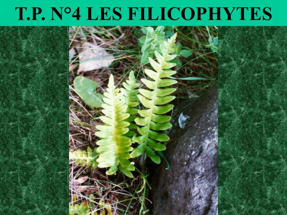 T.P. N°4 LES FILICOPHYTES
