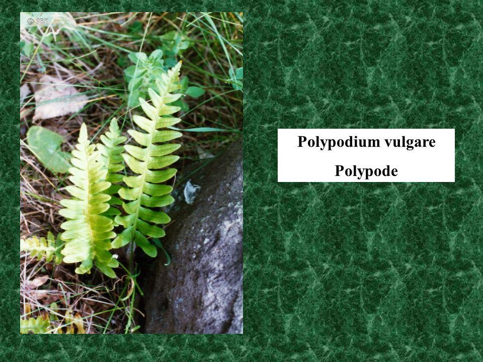 Polypodium vulgare Polypode