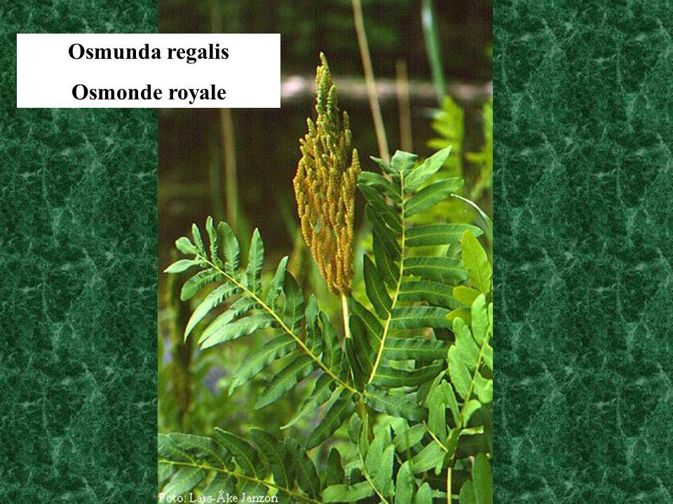 Osmunda regalis Osmonde royale