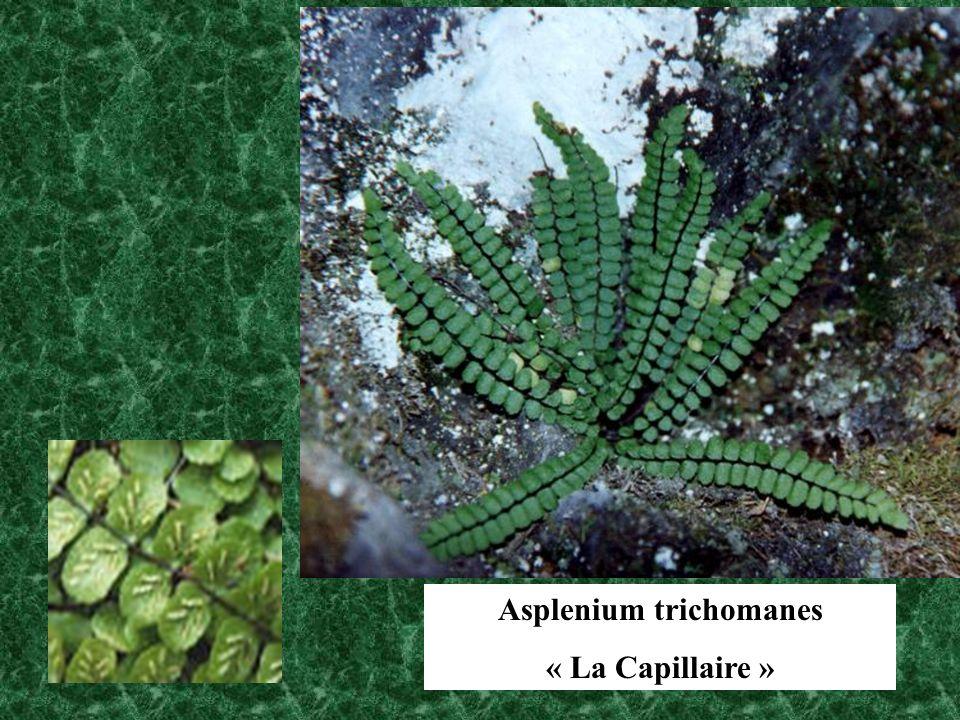 Asplenium trichomanes « La Capillaire »