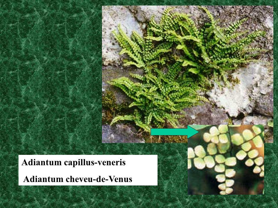 Adiantum capillus-veneris Adiantum cheveu-de-Venus