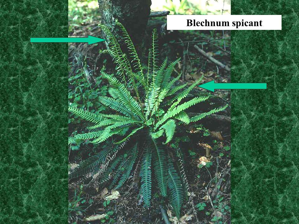 Blechnum spicant