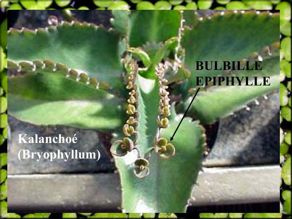 Kalanchoé (Bryophyllum) BULBILLE EPIPHYLLE