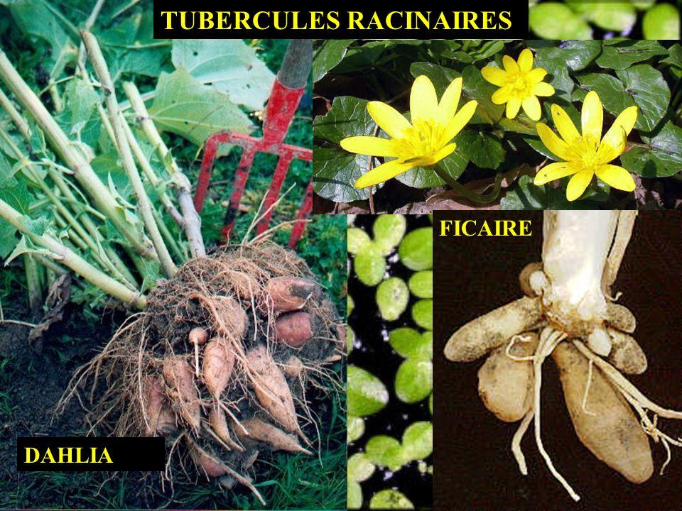 TUBERCULES RACINAIRES DAHLIA FICAIRE
